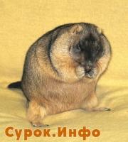 Сурок - домашнее животное? (2-2010) Фото: Сергей Лукьянов