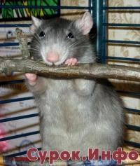 «Парк развлечений» для декоративных крыс. (4-2010) Фото: Анна Шеина
