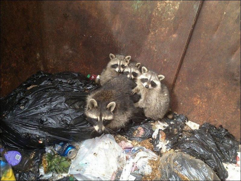 Еноты из мусорного бака