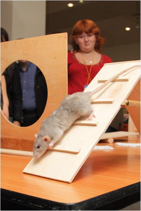 """Крысиное аджилити на Зоошоу """"Зверек на ладошке"""""""